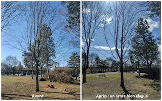 Avant-après : un arbre bien élagué
